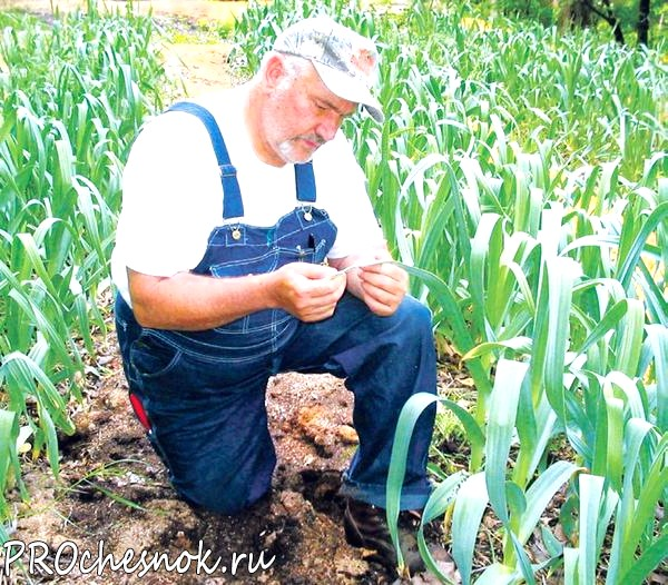 Чеснок: выращивание и уход