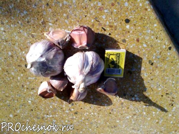 Фото - Хитрости посадки чеснока. Сроки посадки