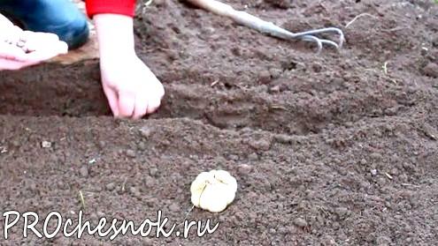 Хитрости посадки чеснока. Сроки посадки