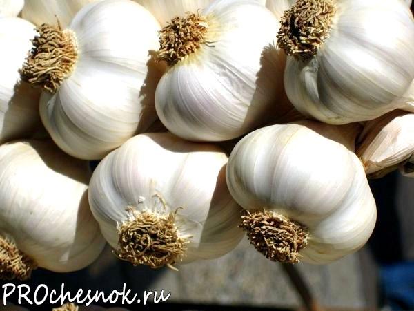 Фото - Яровые сорта чеснока