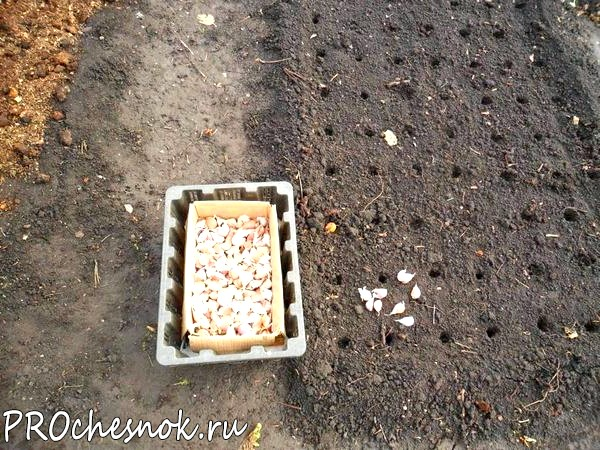 Фото - Как сажать чеснок осенью