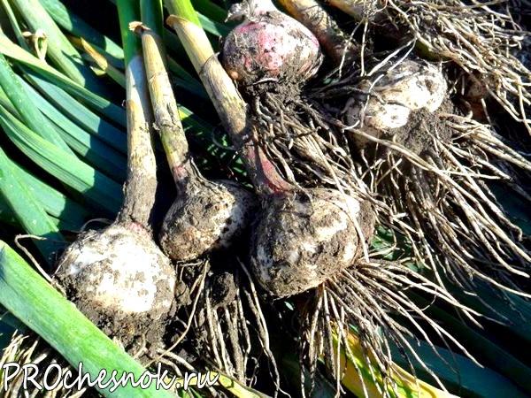 Фото - Сроки посадки чеснока осенью