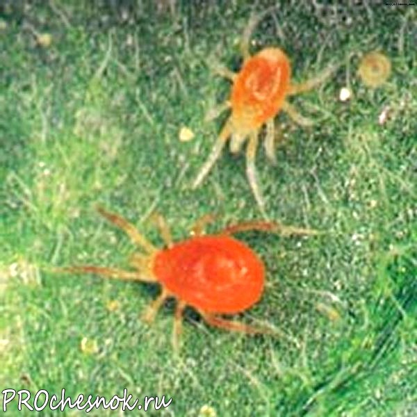 Фото - Вредные насекомые - вредители чеснока