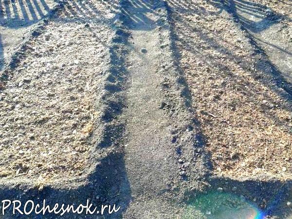 Фото - Выращивание зимнего чеснока